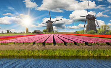 Dutch Tulip Field with windmills