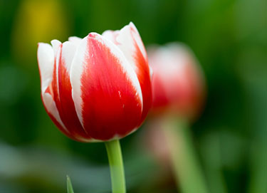 Red and White Tulip: Closeup